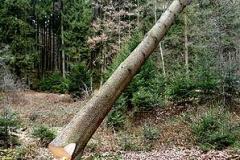 Baum_fallt1